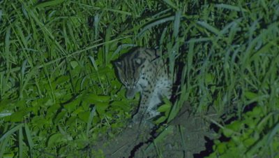 Leopard Cat sitting in the grass cleaning it's paw and face