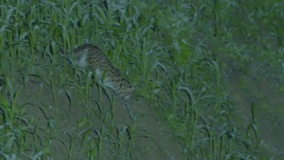 Leopard Cat walks on a grassy bank at night