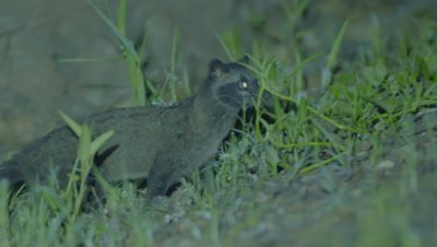 Common Palm Civet walking in the grass at night, runs across a road