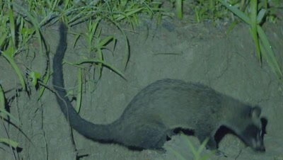 Common Palm Civet walking through the grass at night