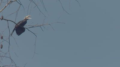 Male Asian Black Hornbill calls/vocalizes (NO SOUND), then flies out of frame