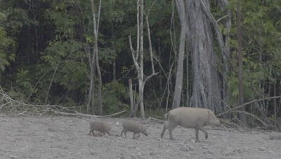 Bornean Bearded Pigs, a mother and piglets, walk through frame near a Mud Volcano