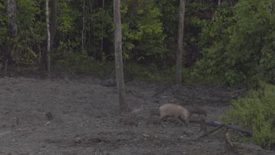 Two families of Bornean Bearded Pigs, mothers and piglets, leave a Mud Volcano and re-enter the rainforest