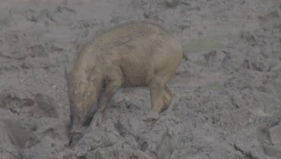 Bornean Bearded Pigs, a mother and piglets, foraging in the mud
