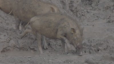 Bornean Bearded Piglets foraging in the mud