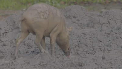 Bornean Bearded Pig mother foraging in the mud near piglets