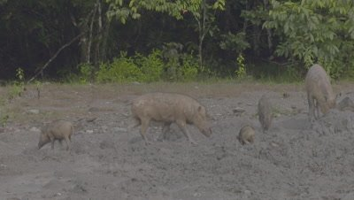 Two families of Bornean Bearded Pigs, mothers and piglets, foraging at a Mud Volcano (including piglet with wound on rump)