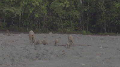 Two families of Bornean Bearded Pigs, mothers and piglets, foraging and drinking at a Mud Volcano