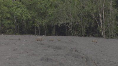 Two families of Bornean Bearded Pigs, mothers and piglets, foraging at a Mud Volcano