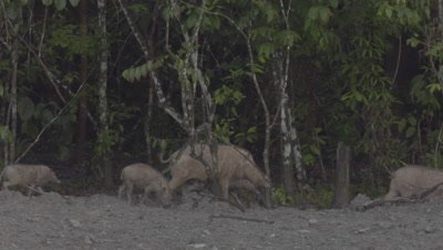 Two families of Bornean Bearded Pigs, mothers and piglets, foraging at the edge of the rainforest