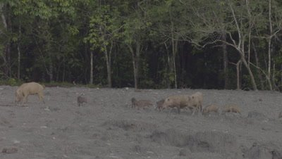 Three families of Bornean Bearded Pigs, mothers and piglets, foraging in the mud at a Mud Volcano