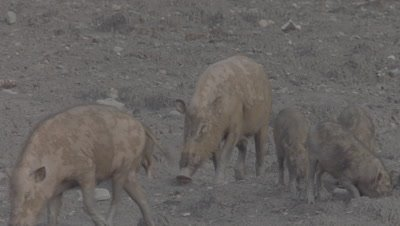 Two families of Bornean Bearded Pigs, mothers and piglets, foraging in the mud at a Mud Volcano