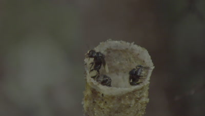 Macro shot of Stingless Bees flying in and out of their nest entrance in the trunk of a Strangler Fig