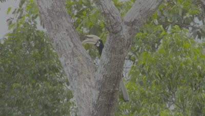 Male Oriental Pied Hornbill perched in a tree jumps along the tree trunk