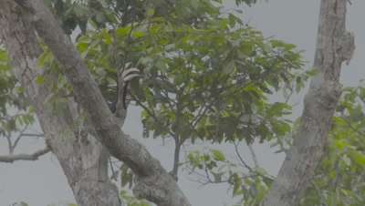 Male Oriental Pied Hornbill calling while perched in a tree