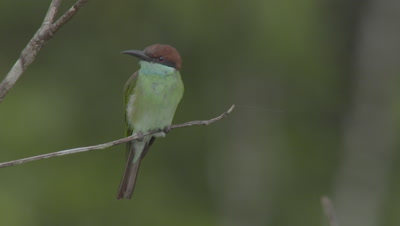 Blue-throated Bee-eater on branch