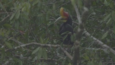 Male and juvenile Rhinoceros Hornbill foraging in a fruiting tree in the rain