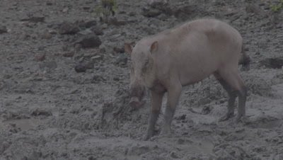 Bornean Bearded Pig walks through the mud at a Mud Volcano