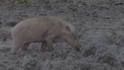 Bornean Bearded Pig drinks water from a puddle at a Mud Volcano