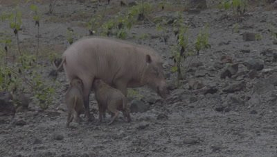 Two Bornean Bearded Piglets suckle from their mother as she walks through a Mud Volcano; mother briefly falls in the mud