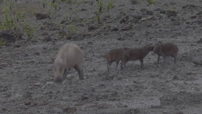 Bornean Bearded Piglets playing near their mother at a Mud Volcano