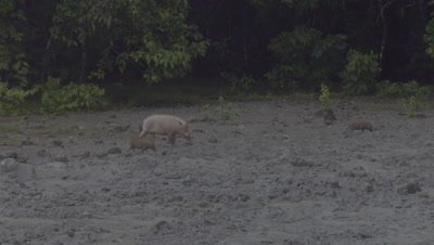 Bornean Bearded Pig family, a mother and piglets, walking through the mud at a Mud Volcano