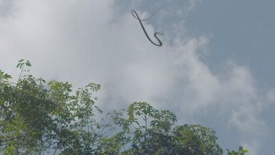Paradise Tree Snake (also Paradise Flying Snake) flying through the blue sky towards the trees