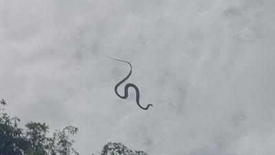 Paradise Tree Snake (also Paradise Flying Snake) flying through the overcast sky towards the trees in the rain
