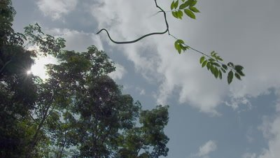 Paradise Tree Snake (also Paradise Flying Snake) launches off a tree branch and flies through the air