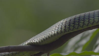Paradise Tree Snake (also Paradise Flying Snake) resting on a branch, breathing, scales gleaming in the sun