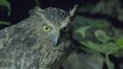 Buffy Fish Owl fishing, looking down into river, briefly turns to look at camera and it's forest surroundings