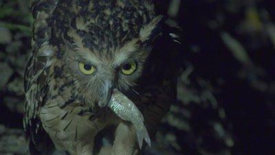 Buffy Fish Owl fishing swallows a captured fish