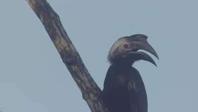 Male Asian Black Hornbill perched in a tree jumps down along the branch