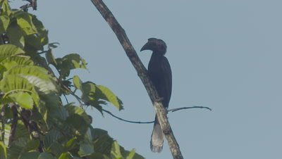 Male Asian Black Hornbill perched in a tree