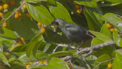 Asian Glossy Starling foraging in fruiting tree