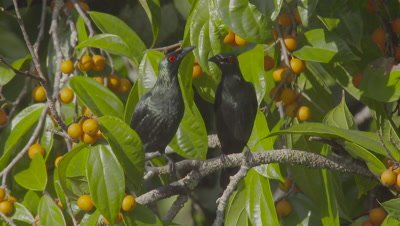 Two Asian Glossy Starlings foraging in fruiting tree take flight