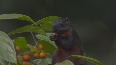 Prevost's Squirrel foraging in fruiting tree