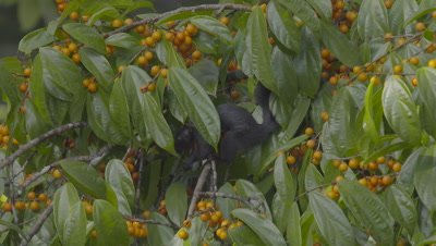 Prevost's Squirrel foraging in fruiting tree jumps out of frame