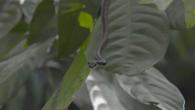 Paradise Tree Snake resting on a large leaf, staring intently at the surrounding foliage