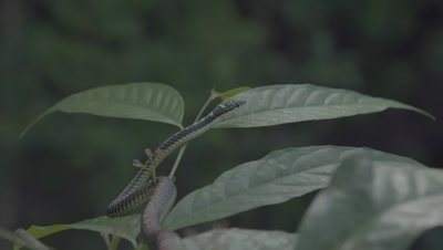 Camera racks focus from a Paradise Tree Snake resting on a branch to the mid-canopy of the rainforest in the background