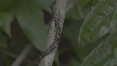 Paradise Tree Snake climbing up a tree trunk