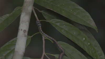 Paradise Tree Snake climbing up a tree trunk and onto a leafy tree branch