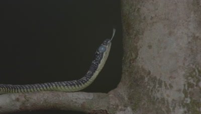 Paradise Tree Snake ready to moult climbing up a tree trunk, tasting the air; milky eye is visible