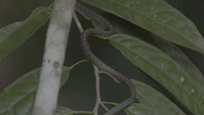 Paradise Tree Snake ready to moult climbing up a leafy branch