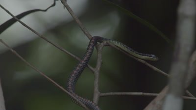 Paradise Tree Snake ready to moult climbing up a tree trunk; milky eye is visible