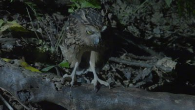 Buffy Fish Owl hunting at night jumps into a river in an unsuccessful attempt to catch a fish