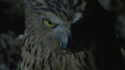 Buffy Fish Owl hunting at night at the edge of a river; camera tilts from head to talons