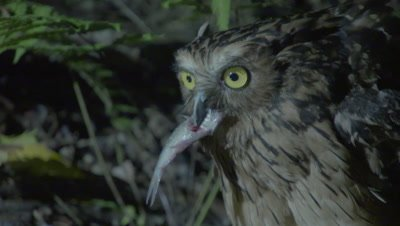 Buffy Fish Owl hunting at night jumps out of river with captured fish, begins feeding