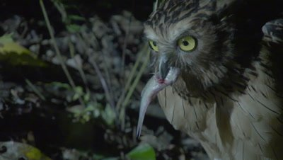 Buffy Fish Owl hunting at night feeds on captured fish at the river's edge
