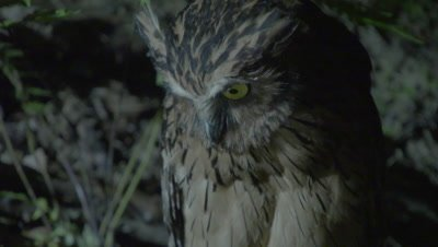Buffy Fish Owl hunting at night at the edge of a river; camera tilts from talons to head